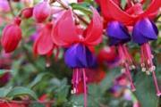 Fuchsine - named after the blue-red fuchsia