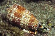 A cone snail