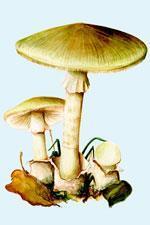 Amanita phalloides - delicious but deadly
