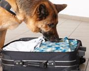 A dog sniffing in a suitcase