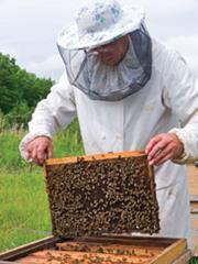 A bee keeper checks his hive