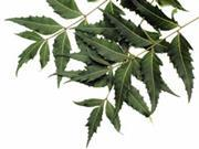 The Indian neem tree