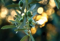 Fruit on an olive tree
