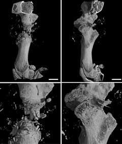 Figure 3 - Bone scan 28 days after scaffold implantation: (left) PLA scaffold; (right) PLA scaffold encapsulated with a growth factor with seeded human bone marrow stromal cells