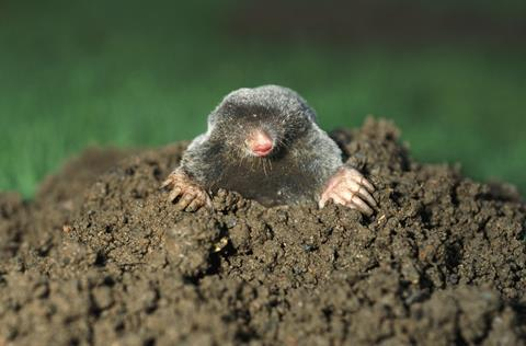 An image showing a mole peaking out of the ground