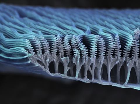 Coloured scanning electron micrograph (SEM) of the ridges on a scale from the wing of a butterfly, x10000 magnification