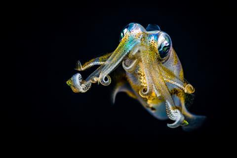 Bigfin reef squid (Sepioteuthis lessoniana) staring, defending itself