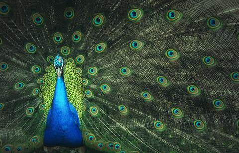 A male peacock with his tail spread