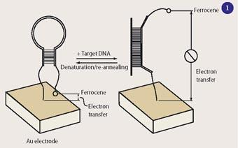 Figure 1 - Electronic gene sensor, E-DNA