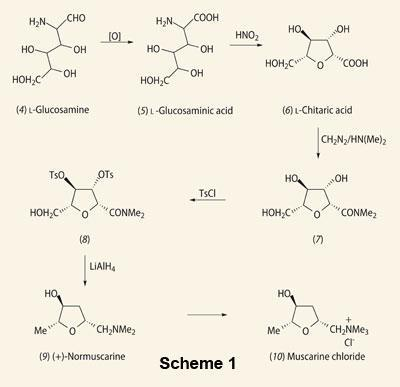 Scheme 1 - Structures and relations of (4) l-glucosamine  (5) l-glucosaminic acid (6)l-chitaric acid  (7)conversion to its dimethylamide  (8)reduction of the tritosyl derivative (9)(+)-normuscarine  (10)muscarine chloride