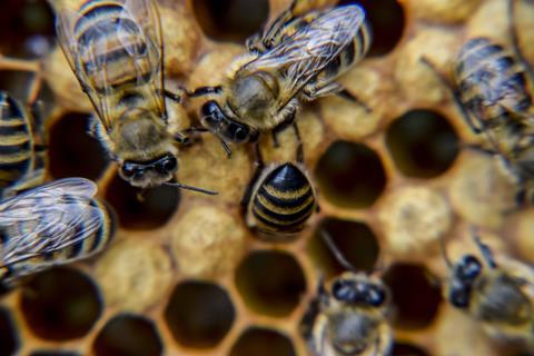 Close up of honey bees on honey combs