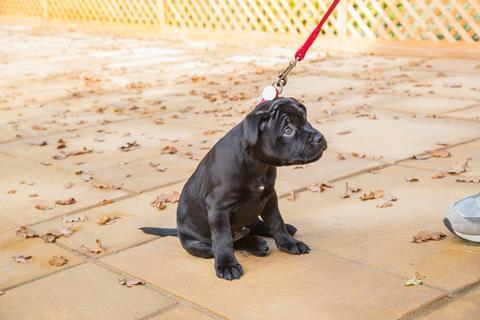 A puppy sitting still despite being pulled by a lead