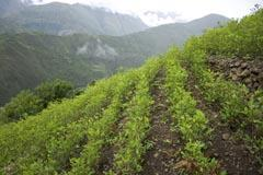 Coca plants - a cash crop for farmers in countries such as Peru and Bolivia