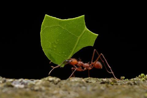 A picture showing a leaf cutter ant carrying a piece of leaf, against a black background