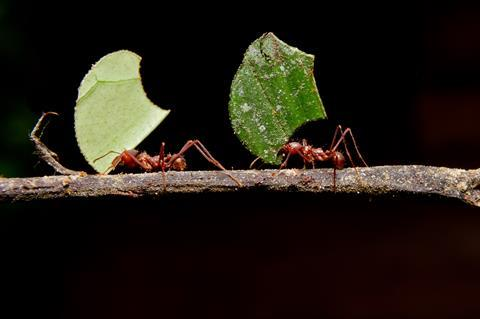 A picture showing two leafcutter ants, each carrying a piece of leaf, walking along a twig