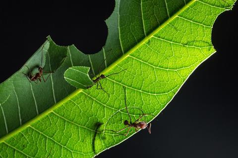 A picture showing three leafcutter ants on a leaf, one carrying a piece of the leaf