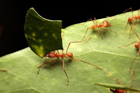 A picture showing leafcutter ants on a leaf, one carrying a leaf portion