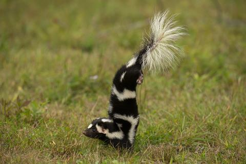 An image showing a skunk doing a handstand