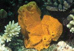 The sponge Stylotella aurantium