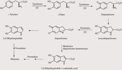Scheme 2 - Biosynthesis of melanin