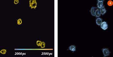 Figure 4 - Fluorescence lifetime images of cells expressing GFP-tagged major histocompatibility complex (MHC) protein in PBS buffer (above left) and in 100 per cent glycerol solution (above right)