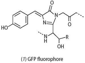 Structure of GFP fluorophore