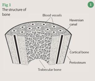 Figure 1 - the structure of bone