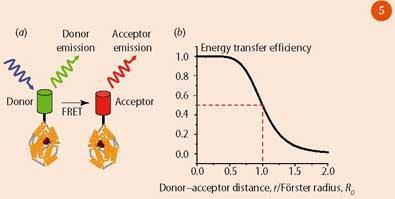 Figure 5 - (a) FRET between molecules labelled with GFP and a red fluorescent protein; (b) FRET efficiency versus separation of donor and acceptor molecules