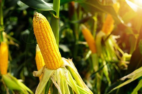An image showing maize