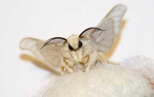 Silk moth, Bombyx mori