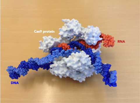 Photograph of a 3D printed model of the Cas9 protein