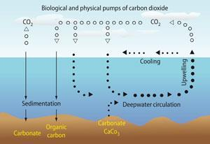 Figure 3 - Marine carbon cycle