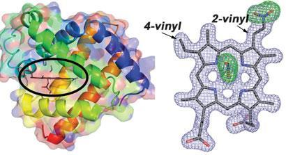 The x-ray crystal structure of the green pigment occasionally present in nitrite-cured meat reveals nitration of the haem group at the 2-vinyl position