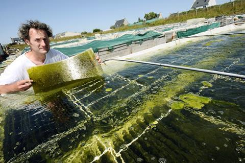 Man holding up a sheet of algae used to feed abalone (sea snails) at an abalone farm