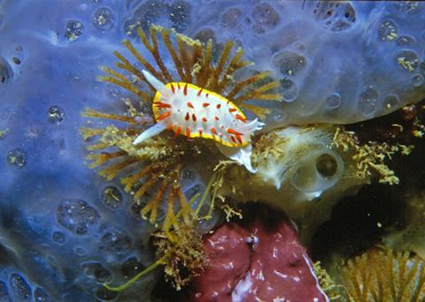 Photo of marine nudibranch Diaphorodoris papillata feeding on Bugula neritina