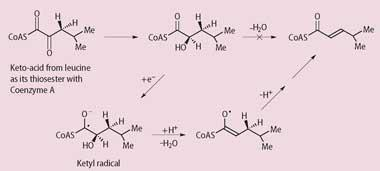 The pathway which coverts hydroxyacid into a ketyle radical