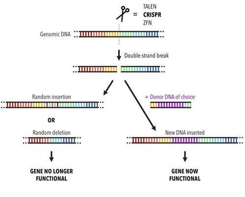 Diagram of the gene editing process